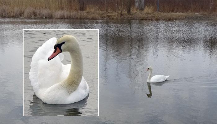 swan-woodbine-park