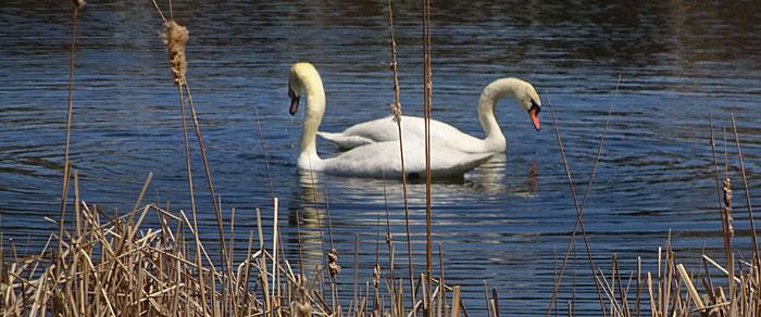 woodbine-park-swans