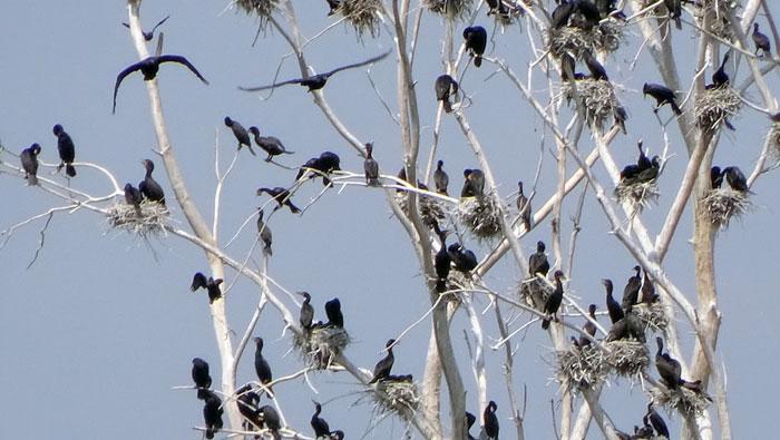 cormorants-cu